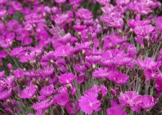 Firewitch Cheddar Pink (Dianthus gratianapolitanus 'Firewitch')