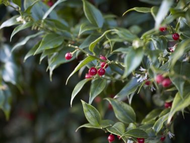 Sarcococca ruscifolia var. chinensis Photo Courtesy of Gardenista