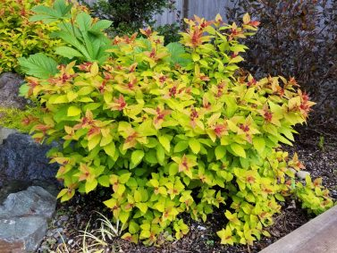 Magic Carpet Spirea (Spirea japonica 'Magic Carpet')