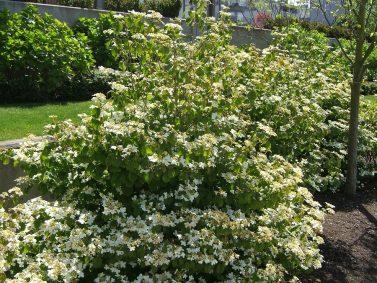 Summer Snowflake Japanese Viburnum (Viburnum plicatum tomentosum 'Summer Snowflake')