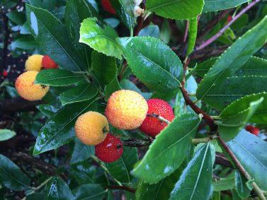 Dwarf Strawberry Tree (Arbutus unedo 'Compacta')