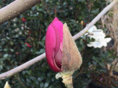 Black Tulip Magnolia (Magnolia x soulangiana 'Jurmag1')