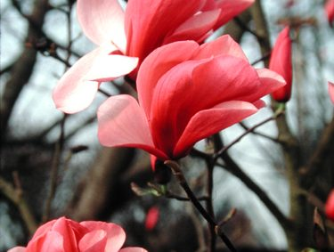 Galaxy Magnolia (Magnolia x 'Galaxy') Photo Courtesy of Great Plant Picks