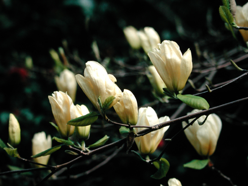 Elizabeth Magnolia (Magnolia x'Elizabeth') Photo Courtesy of Great Plant Picks