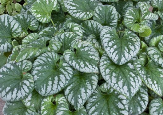 Emerald Mist Brunnera (Brunnera macrophylla 'Emerald Mist') Photo Courtesy of Walters Gardens