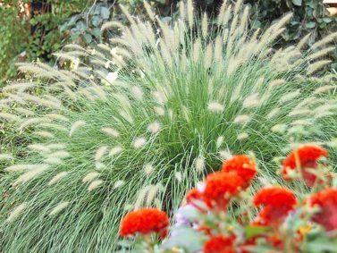 Hameln Dwarf Fountain Grass (Pennisetum alopecuroides 'Hamelin')