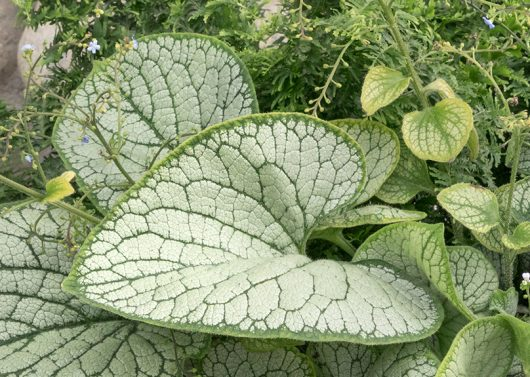 Silver Heart Brunnera (Brunnera macrophylla 'Silver Heart') Photo Courtesy of Monrovia