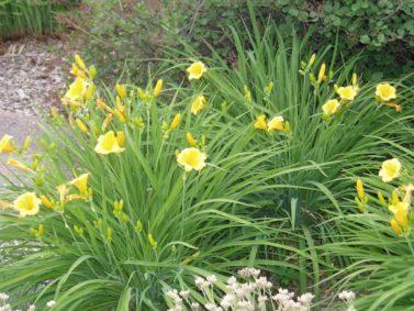 Stella de Oro Daylily (Hemerocallis x 'Stella de Oro')