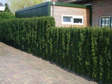 Irish Yew Hedge Photo Courtesy of Hopes Grove Nurseries