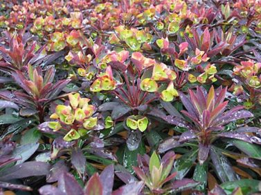 Blackbird Spurge (Euphorbia x 'Blackbird') Photo Courtesy of Gardenia
